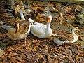 Domestic geese at Alipore Zoo.jpg
