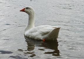Domestic goose thegreenj.jpg