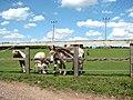 Donkeys and miniature ponies - geograph.org.uk - 1385840.jpg