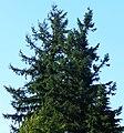 Douglas-fir Pseudotsuga menziesii, Auburn WA.jpg