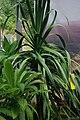 Dracaena draco, Conservatoire botanique national de Brest 02.jpg