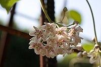 Dregea sinensis - Fleurs-2.jpg