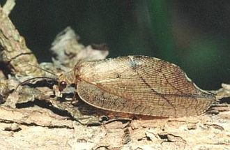 Neuroptera - Drepanepteryx phalaenoides (Hemerobiidae)