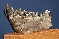Dryopithecus fontani.jpg