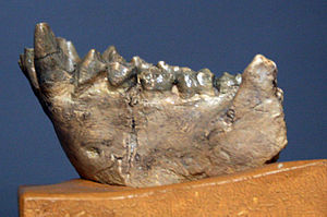 Dryopithecini - mandible fragment of Dryopithecus fontani from Saint-Gaudens, France (Middle Miocene, 11.5 My) ; cast from Museum national d'histoire naturelle, Paris