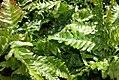 Dryopteris erythrosora 0zz.jpg