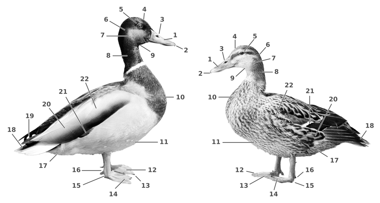 File:Duck and Drake (External characteristics).png - Wikimedia Commons