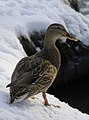 Duck spending winter on the Yauza river - Moscow, Russia - panoramio.jpg