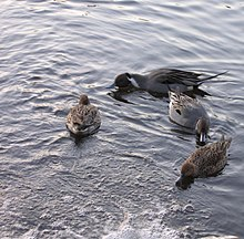 Ducks amok.jpg