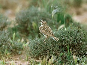 Description de l'image Dupont's Lark, Morocco 1 (crop).jpg.