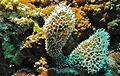 """Dysideid Sponge (Dysidea sp.) showing """"skeleton"""" (8481640074).jpg"""