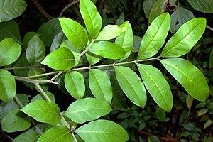 Dysoxylum fraserianum