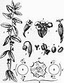 EB1911 - Euphorbiaceae - Fig. 1.jpg
