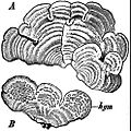 EB1911 Lichens - Cora pavonia.jpg