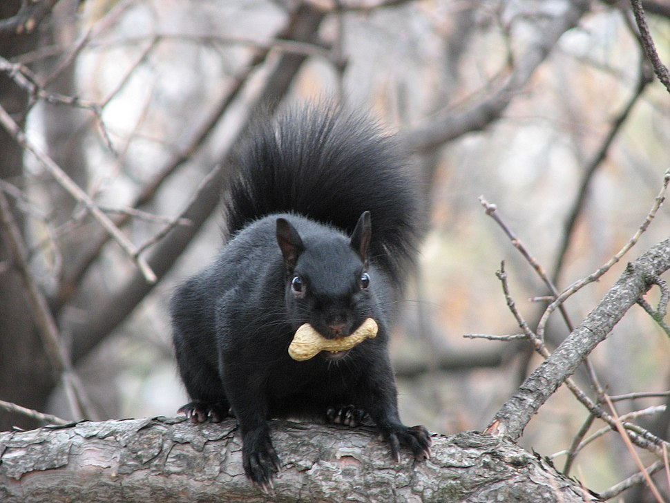 Eastern Grey Squirrel-black