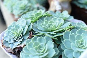 Echeveria - Echeveria glauca in a Connecticut greenhouse, kept at 77 degrees.