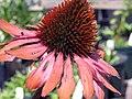 Echinacea purpurea Rubinstern 0zz.jpg