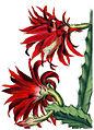 Echinocereus coccineus BlKakteenT118.jpg