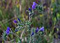 Echium angustifolium - Hispid Viper's-bugloss.jpg
