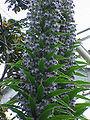 Echium piniana1.jpg