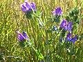Echium plantagineum-Zingaro.JPG