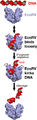 EcoRV cleaving DNA.png