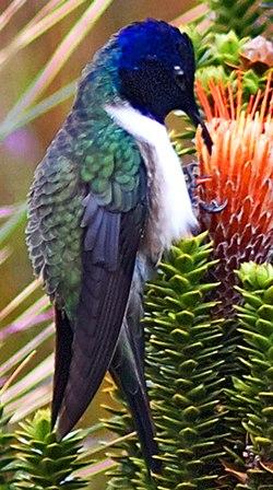 Ecuadorian Hillstar (cropped-2).jpg