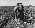 Edison, Kern County, California. 17-year-old boy agri. (sic) worker sacking early potatoes after mec . . . - NARA - 521813.tif