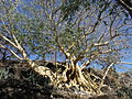El Árbol de la Vida en la Isla de Mezcala.JPG
