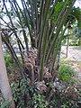 Elaeis guineensis-2-papanasam-tirunelveli-India.jpg