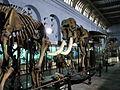 Elephant Indian Museum Kolkata 2035.jpg