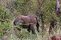 Elephant visitor at Tarangire Treetops (1) (28677922765).jpg