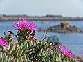 Elizabeth Castle St Helier Jersey flower.jpg