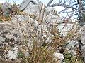 Elymus trachycaulus (3939446174).jpg