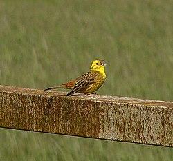 Keltainen Lintu