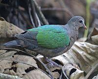 Emerald Dove (Chalcophaps indica indica)