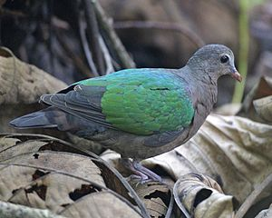 Common emerald dove - nominate subspecies