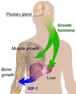 Endocrine growth regulation