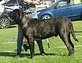 English Mastiff brindle male 2.jpg