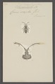 Enoplops - Print - Iconographia Zoologica - Special Collections University of Amsterdam - UBAINV0274 040 04 0036.tif