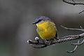 Eopsaltria australis -Flinders, Victoria, Australia-8.jpg