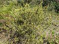 Epacris calvertiana var. calvertiana habit.jpg