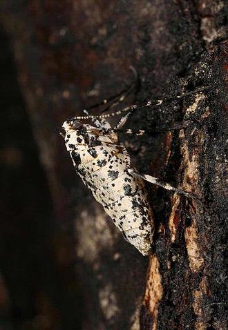 Mottled umber - Image: Erannis defoliaria female