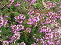 Erica carnea James Backhouse.jpg