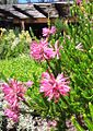 Erica verticillata flowers - Kirstenbosch 7.jpg