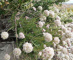 Eriogonum fasciculatum 4.jpg