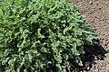 Erodium chrysanthum kz06.jpg