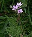 Erodium cicutarium x Erodium lebelii.jpg