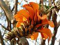 Erythrina caffra, bloeiwyse, c, Pretoria.jpg