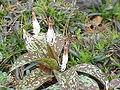 Erythronium dens-canis0.jpg